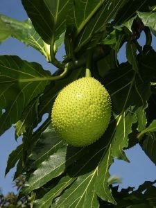 Hojas y fruto del árbol del pan, foto Wikipedia